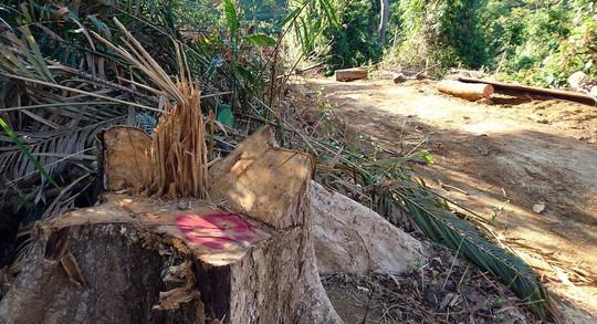 Bắt giám đốc doanh nghiệp lợi dụng khai thác gỗ để phá rừng tự nhiên - Ảnh 1.
