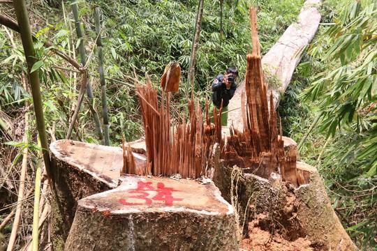 Bắt 2 kiểm lâm liên quan vụ thảm sát rừng lim cổ thụ - Ảnh 2.