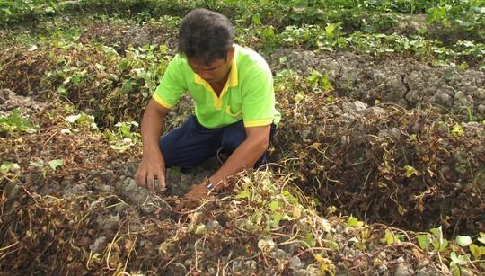 Kẻ gian phun thuốc diệt cỏ khiến khoai lang chết sạch - Ảnh 2.