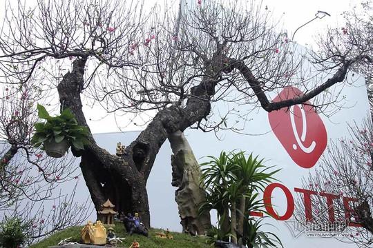 Bất ngờ với cây đào ven đường, gốc mục ruỗng có giá đến 120 triệu đồng - Ảnh 7.