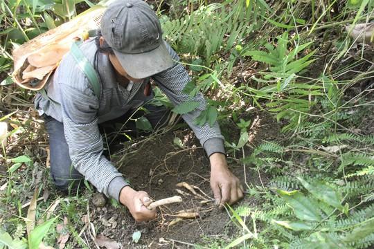 Băng rừng tìm sâm núi bán Tết - Ảnh 1.