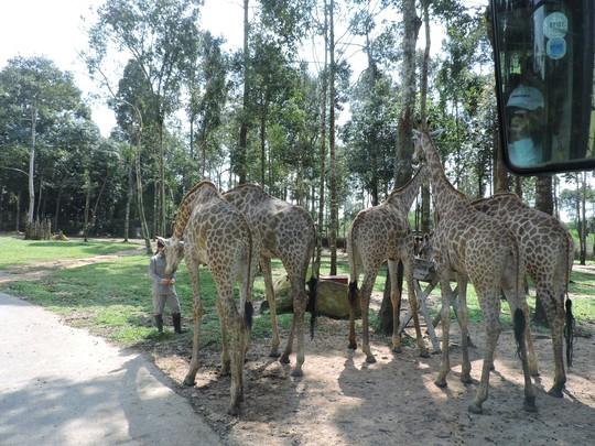 Clip: Những khoảnh khắc cưng muốn xỉu ở  vườn thú Safari Phú Quốc - Ảnh 28.