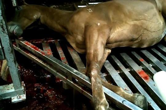 Úc: Giết thịt ngựa đua xuất khẩu sang châu Âu, Nhật Bản, Nga - Ảnh 1.