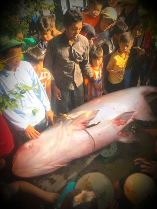 Bắt được cá tra dầu nặng hơn 230kg, bán 200.000 đồng/kg - Ảnh 1.
