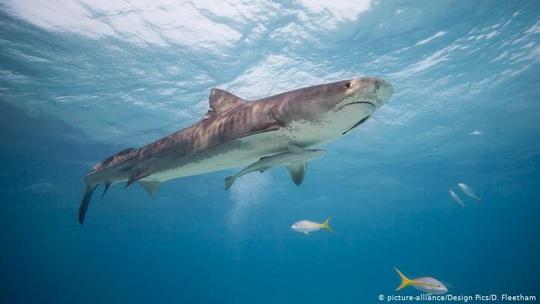 Tìm thấy bộ phận cơ thể người trong dạ dày cá mập hổ - Ảnh 1.