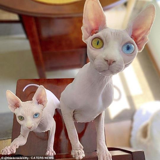 Cặp mèo với 2 màu mắt khác nhau gây bão mạng xã hội - Ảnh 2.