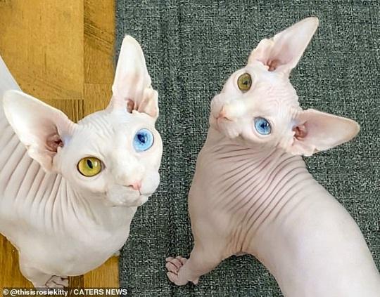 Cặp mèo với 2 màu mắt khác nhau gây bão mạng xã hội - Ảnh 1.