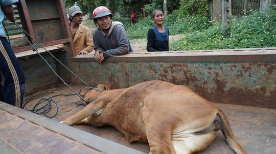 Vụ cấp bò không đứng được cho dân làm giống: Do bò... nhút nhát (?!) - Ảnh 3.