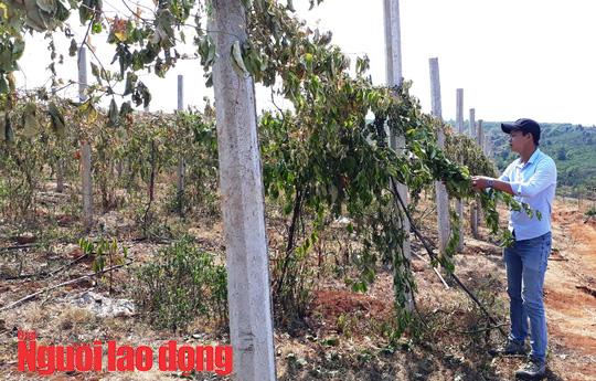 Vườn chanh dây tiền tỉ gần thu hoạch bị phá hoại tàn độc - Ảnh 1.