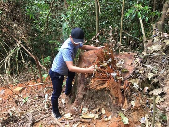 Triệt hạ gỗ quý gần trạm bảo vệ rừng - Ảnh 1.