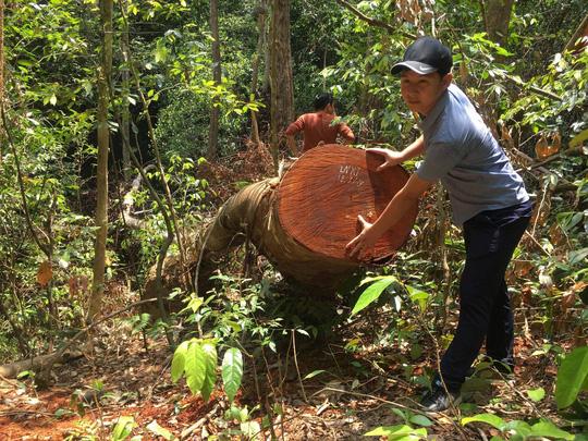 Cận cảnh khu rừng gỗ quý ở Quảng Bình bị lâm tặc chặt phá tan hoang - Ảnh 8.