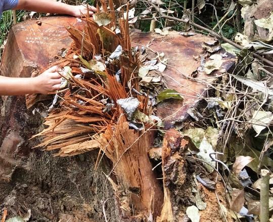 Cận cảnh khu rừng gỗ quý ở Quảng Bình bị lâm tặc chặt phá tan hoang - Ảnh 11.