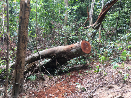 Cận cảnh khu rừng gỗ quý ở Quảng Bình bị lâm tặc chặt phá tan hoang - Ảnh 12.