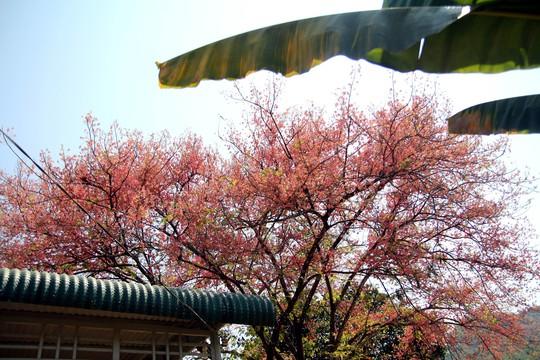 Hoa ô môi nhuộm hồng Cát Tiên đẹp đến nao lòng - Ảnh 15.