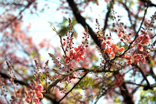 Hoa ô môi nhuộm hồng Cát Tiên đẹp đến nao lòng - Ảnh 2.