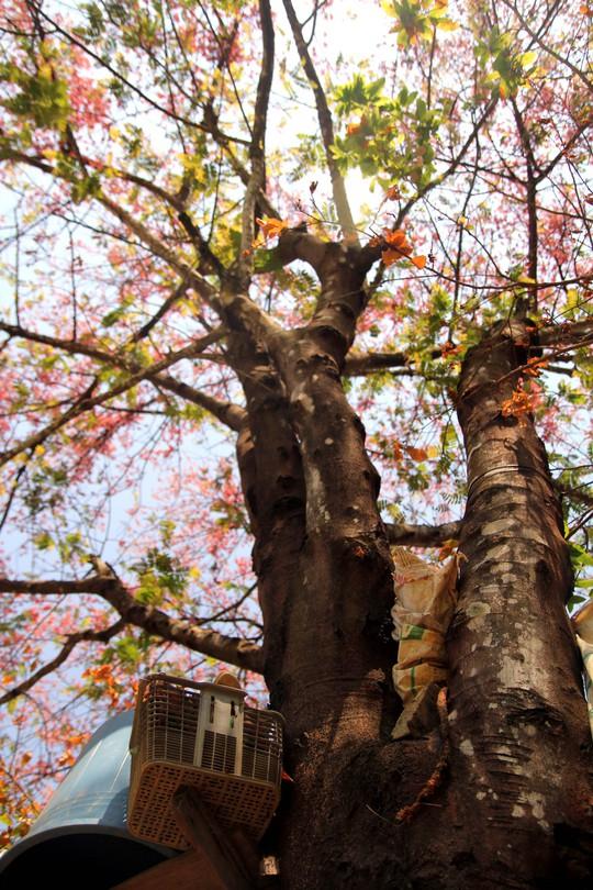 Hoa ô môi nhuộm hồng Cát Tiên đẹp đến nao lòng - Ảnh 16.