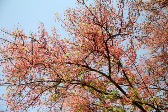 Hoa ô môi nhuộm hồng Cát Tiên đẹp đến nao lòng - Ảnh 14.