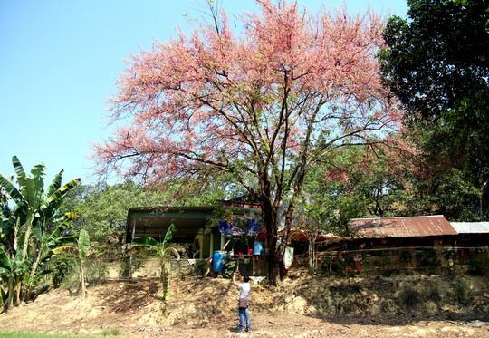 Hoa ô môi nhuộm hồng Cát Tiên đẹp đến nao lòng - Ảnh 13.