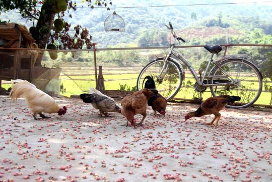 Hoa ô môi nhuộm hồng Cát Tiên đẹp đến nao lòng - Ảnh 12.