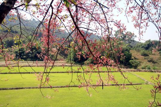 Hoa ô môi nhuộm hồng Cát Tiên đẹp đến nao lòng - Ảnh 10.