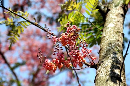Hoa ô môi nhuộm hồng Cát Tiên đẹp đến nao lòng - Ảnh 8.