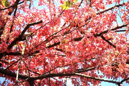 Hoa ô môi nhuộm hồng Cát Tiên đẹp đến nao lòng - Ảnh 1.
