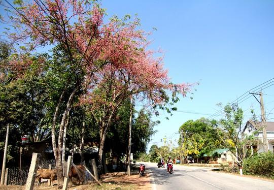 Hoa ô môi nhuộm hồng Cát Tiên đẹp đến nao lòng - Ảnh 6.
