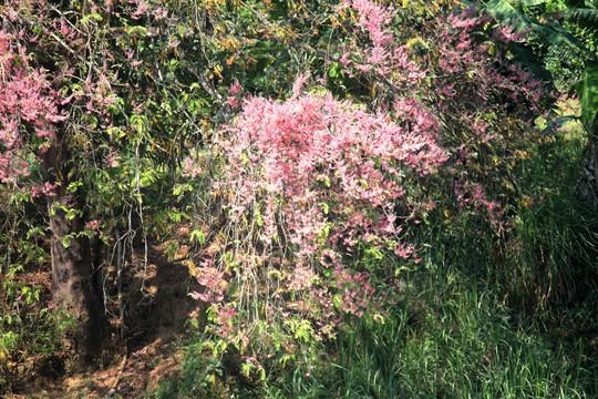 Hoa ô môi nhuộm hồng Cát Tiên đẹp đến nao lòng - Ảnh 4.