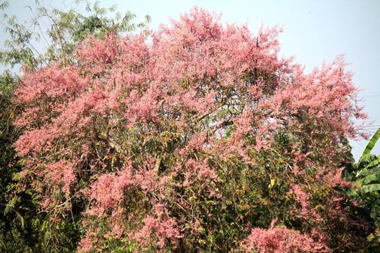 Hoa ô môi nhuộm hồng Cát Tiên đẹp đến nao lòng - Ảnh 3.