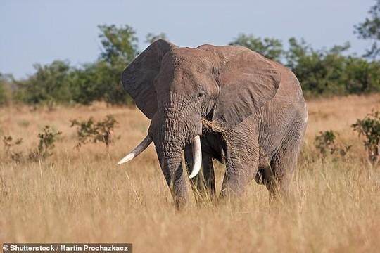 Kẻ săn trộm tê giác bị voi giẫm chết, sư tử ăn thịt - Ảnh 1.