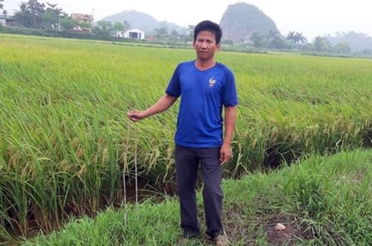 Kẻ xấu cắm thanh sắt 1 m đầy ruộng để phá máy gặt lúa - Ảnh 1.