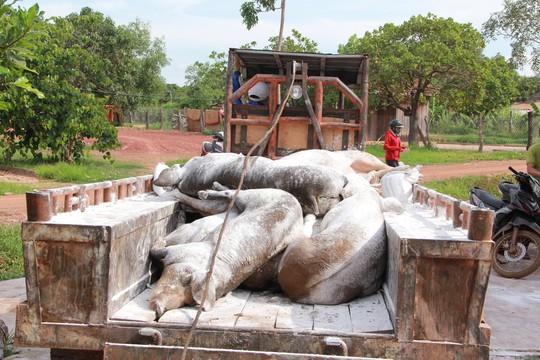 Dân phản ứng vì đưa heo bị dịch tả heo châu Phi từ nơi khác về tiêu hủy - Ảnh 1.