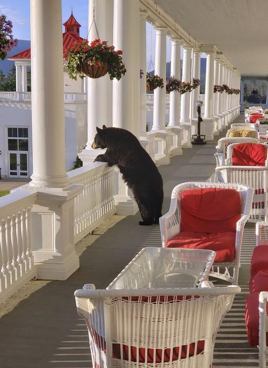 Ngộ nghĩnh hình ảnh gấu đen thư giãn trong khách sạn - Ảnh 2.