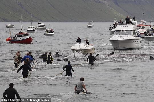 Hàng chục cá voi bị giết, máu nhuộm đỏ nước quần đảo Faroe - Ảnh 2.