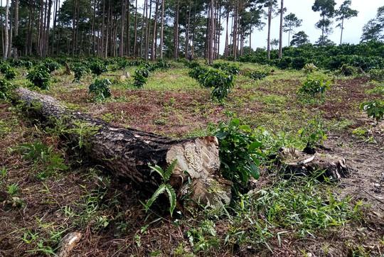 Xót xa cận cảnh rừng thông 30 năm tuổi bị đốt gốc, gọt thân bức tử chết đứng - Ảnh 9.