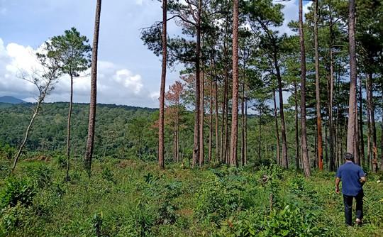 Xót xa cận cảnh rừng thông 30 năm tuổi bị đốt gốc, gọt thân bức tử chết đứng - Ảnh 5.