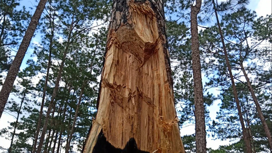 Xót xa cận cảnh rừng thông 30 năm tuổi bị đốt gốc, gọt thân bức tử chết đứng - Ảnh 2.