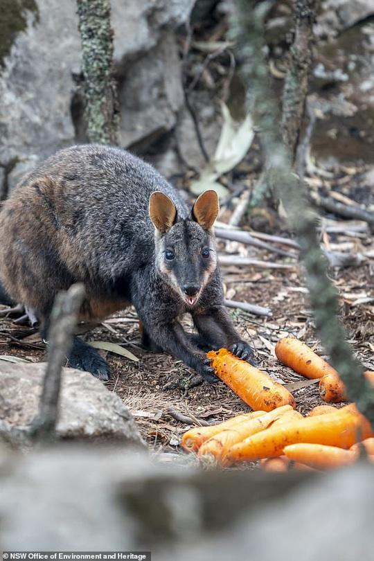 Úc: Mưa cà rốt và khoai lang cứu đói động vật bị cháy rừng - Ảnh 6.