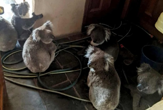 Cháy rừng ở Úc: Ấm áp tình người - thú - Ảnh 1.