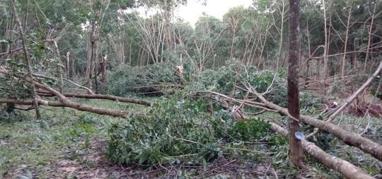 Nông dân Quảng Trị bật khóc khi thấy cao su đổ la liệt sau bão số 9 - Ảnh 3.