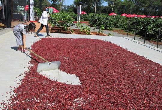 Nhà thu mua cà phê lớn nhất Việt Nam mở khu trải nghiệm cà phê ở Tây Nguyên - Ảnh 2.