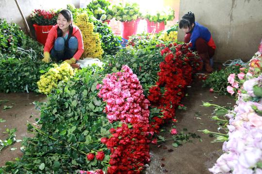 Lần đầu tiên hoa hồng Đà Lạt rớt giá mạnh trước lễ Tình nhân - Ảnh 1.