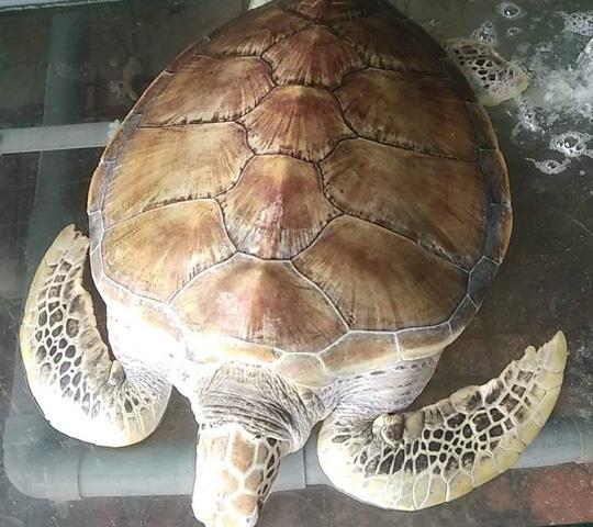 Chủ nhà hàng nói mua rùa biển quý hiếm nặng 30 kg để thả về biển - Ảnh 1.