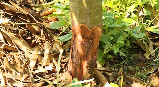 Hàng trăm cây sầu riêng bị kẻ xấu chặt hạ không thương tiếc - Ảnh 1.