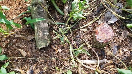 Rơi nước mắt nhìn hàng trăm cây sầu riêng bị kẻ xấu chặt hạ - Ảnh 10.