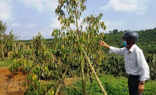 Rơi nước mắt nhìn hàng trăm cây sầu riêng bị kẻ xấu chặt hạ - Ảnh 6.