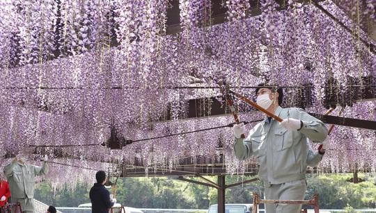 Nhật Bản đành bức tử thiên đường hoa tử đằng vì Covid-19 - Ảnh 2.