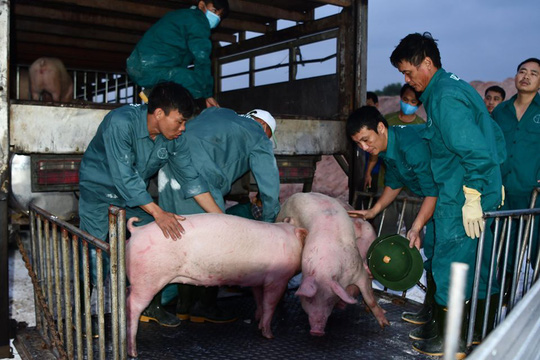 Heo Thái Lan về sẽ tiếp tục kéo giá heo trong nước - Ảnh 1.