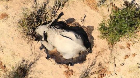 Hơn 350 con voi chết bí ẩn ở Nam Phi - Ảnh 2.