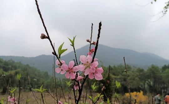 CLIP: Hoa đào nở thắm thủ phủ đào phai lớn nhất xứ Thanh - Ảnh 8.